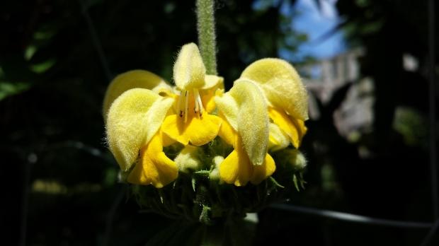 Jerusalem sage flower