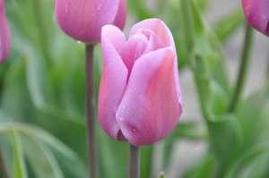 Tulip Alibi