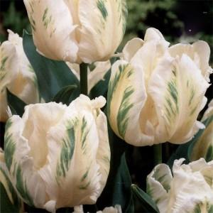 Tulip Madonna