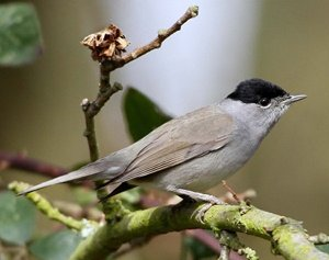 Blackcap by Margaret Holland